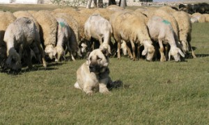 Livestock-Guarding Dogs & Their Current Use World-Wide