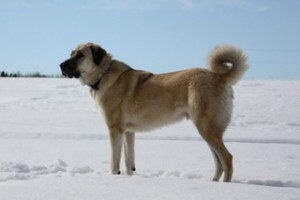 Looking for a Kangal Dog?