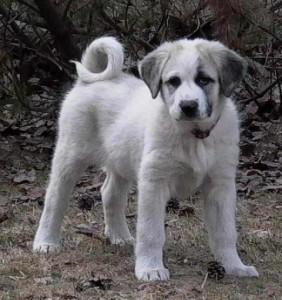 anatolian_shepherd_puppy