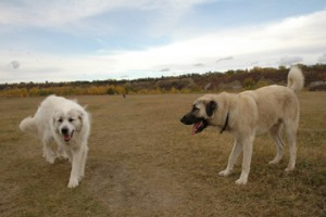Livestock Guarding Dogs (LGD) by Dan & Paula Lane
