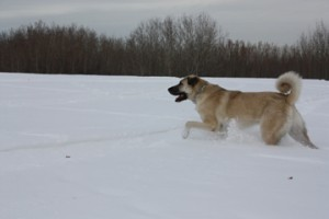 Livestock Guardian Dogs & Their Care in the Winter